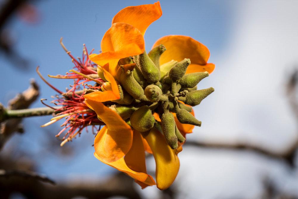 seed-pod-willi-willi-tree-festival-Waikoloa-Village-Hawaii-Island-South-Kohala-343.jpg