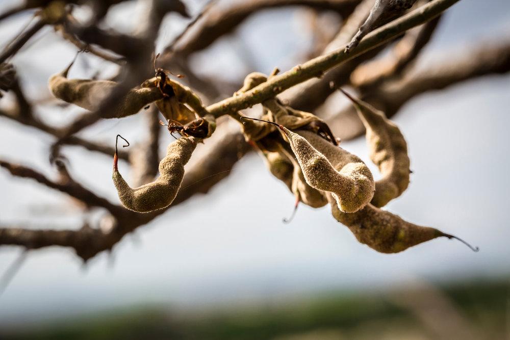 twist-seed-pod-willi-willi-tree-festival-Waikoloa-Village-Hawaii-Island-South-Kohala-324.jpg