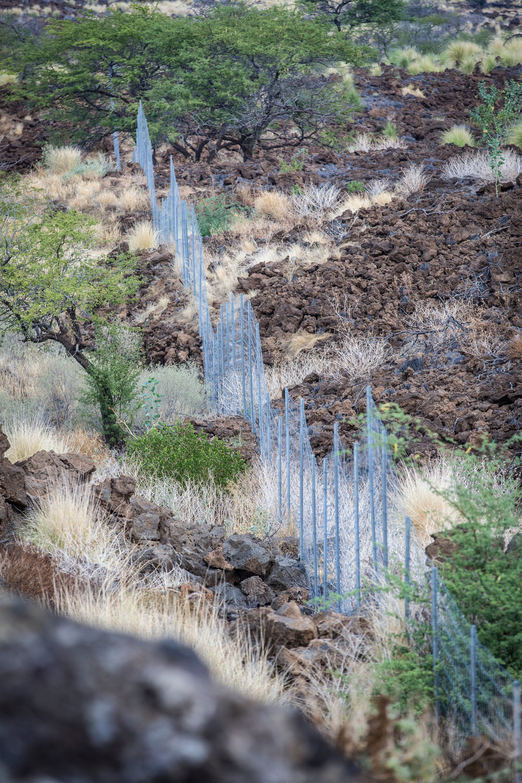 border-fence-pest-goats-willi-willi-tree-festival-Waikoloa-Village-Hawaii-Island-South-Kohala-311.jpg