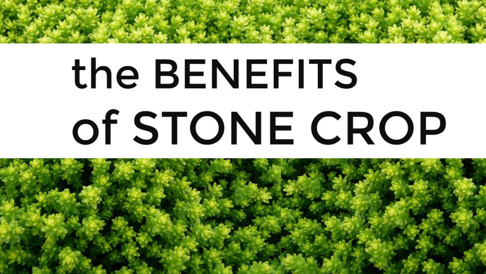 skin care tips stone crop