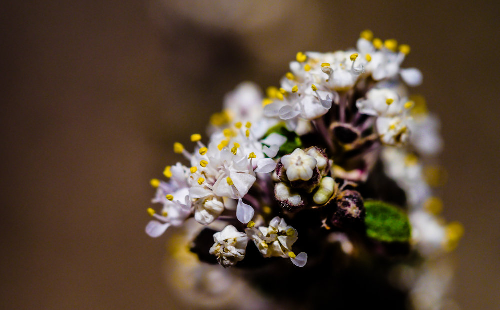 Sweet As A Mountain Lilac - The Blood Medicine of Redroot