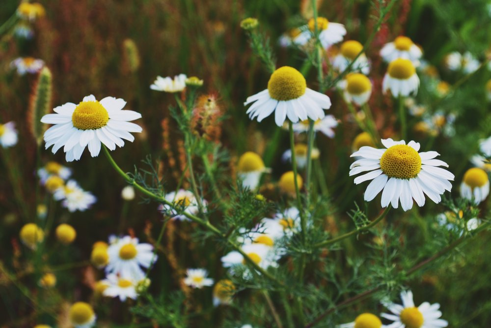The Bittersweet medicine of Chamomile - Earth Apple