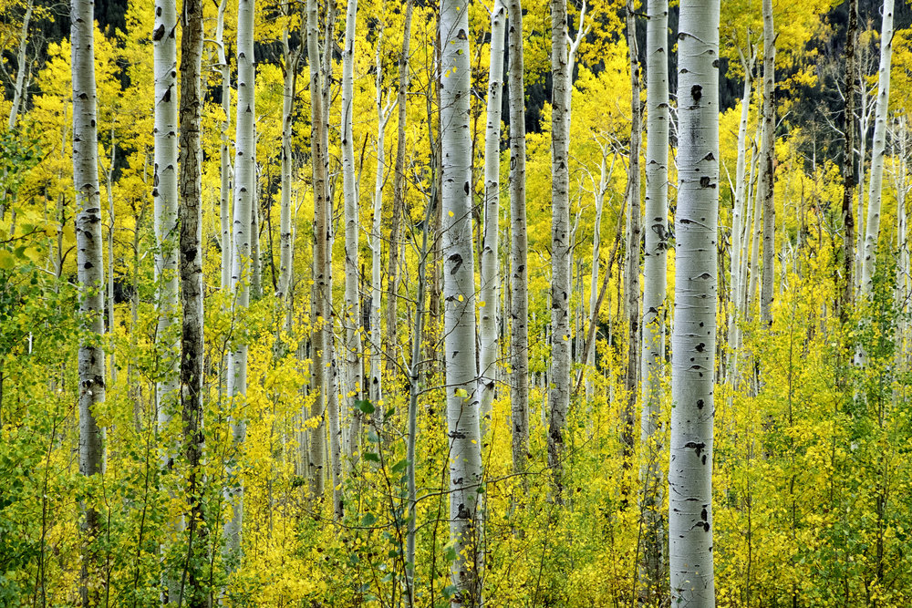 Gold Leaf - Aspen/Cottonwood/Poplar
