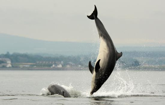 Moray Firth dolphins. Photo credit to James Roddie