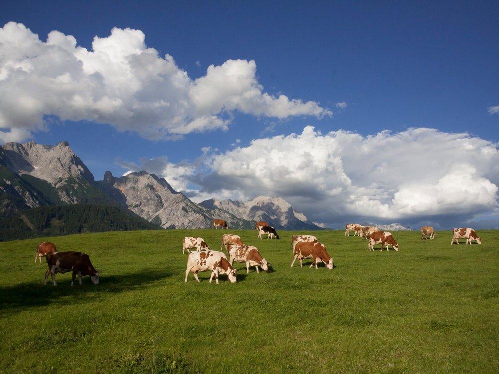 yspira demonte cows.jpg