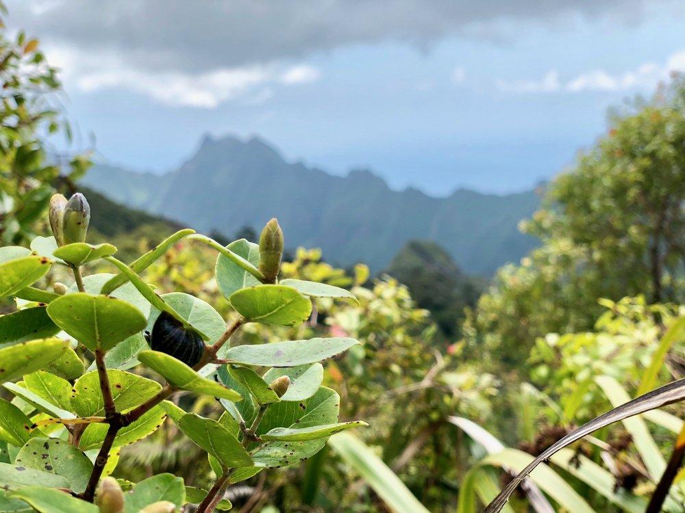 Endangered Tree Snail, Oahu