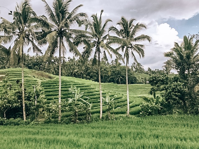 Depending on what time of year, its difficult to try and get on these rice fields. I was there in October and extremely tropical rain at this time of year. Beautiful greens but was not able to get a shot with these as I was sinking in the ground from how wet the ground is.