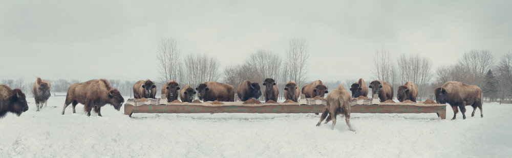 "The Bison Feast  United States, 2014  10""x32"" 