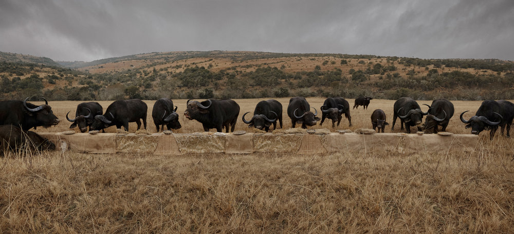 "The Water Buffalo Feast  South Africa, 2016  10""x22"" 