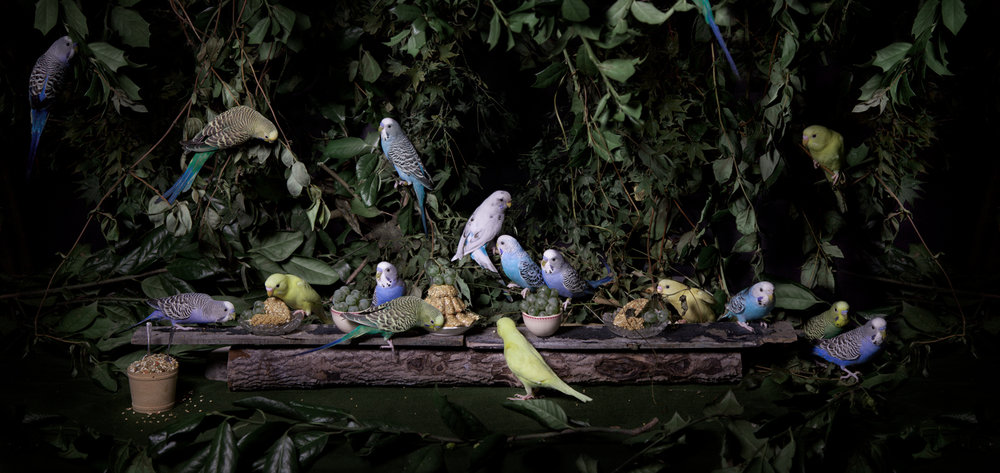 "The Budgerigar Feast  United States, 2013  10""x21"" 