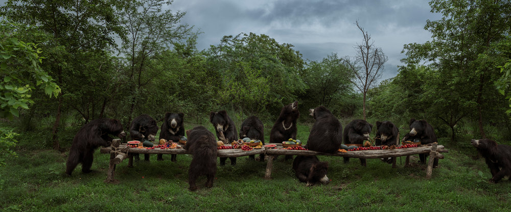 "The Sloth Bear Feast  India, 2018  10""x24"" 