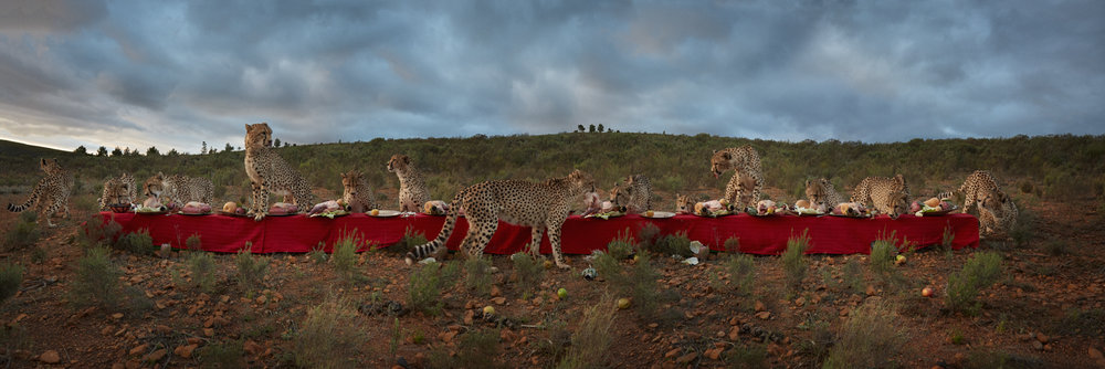 "The Cheetah Feast  South Africa, 2016  10""x30"" 