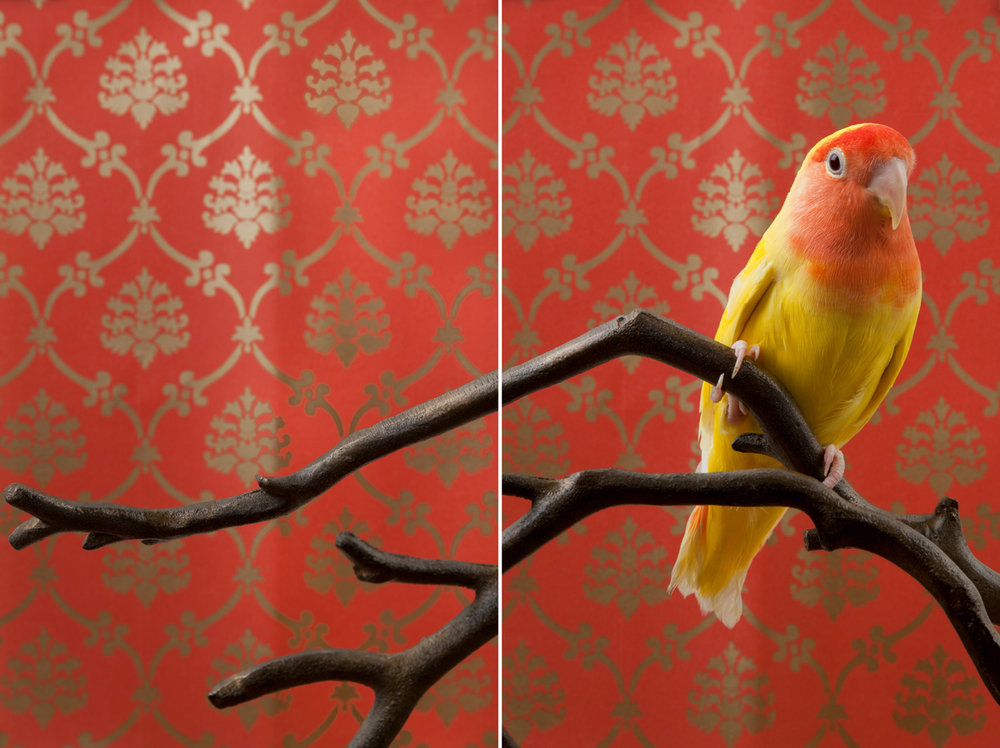 PEACH-FACED LOVEBIRD NO. 7523 (DIPTYCH)