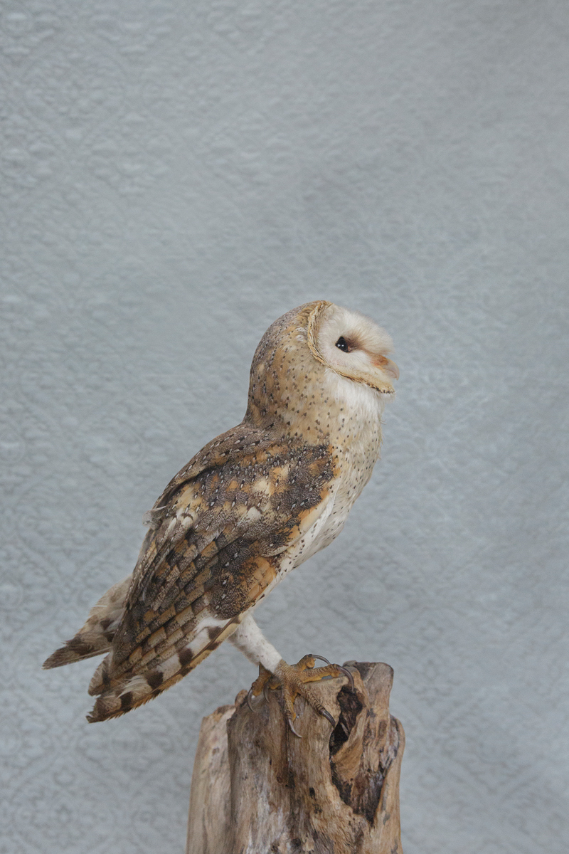 BARN OWL NO. 7276