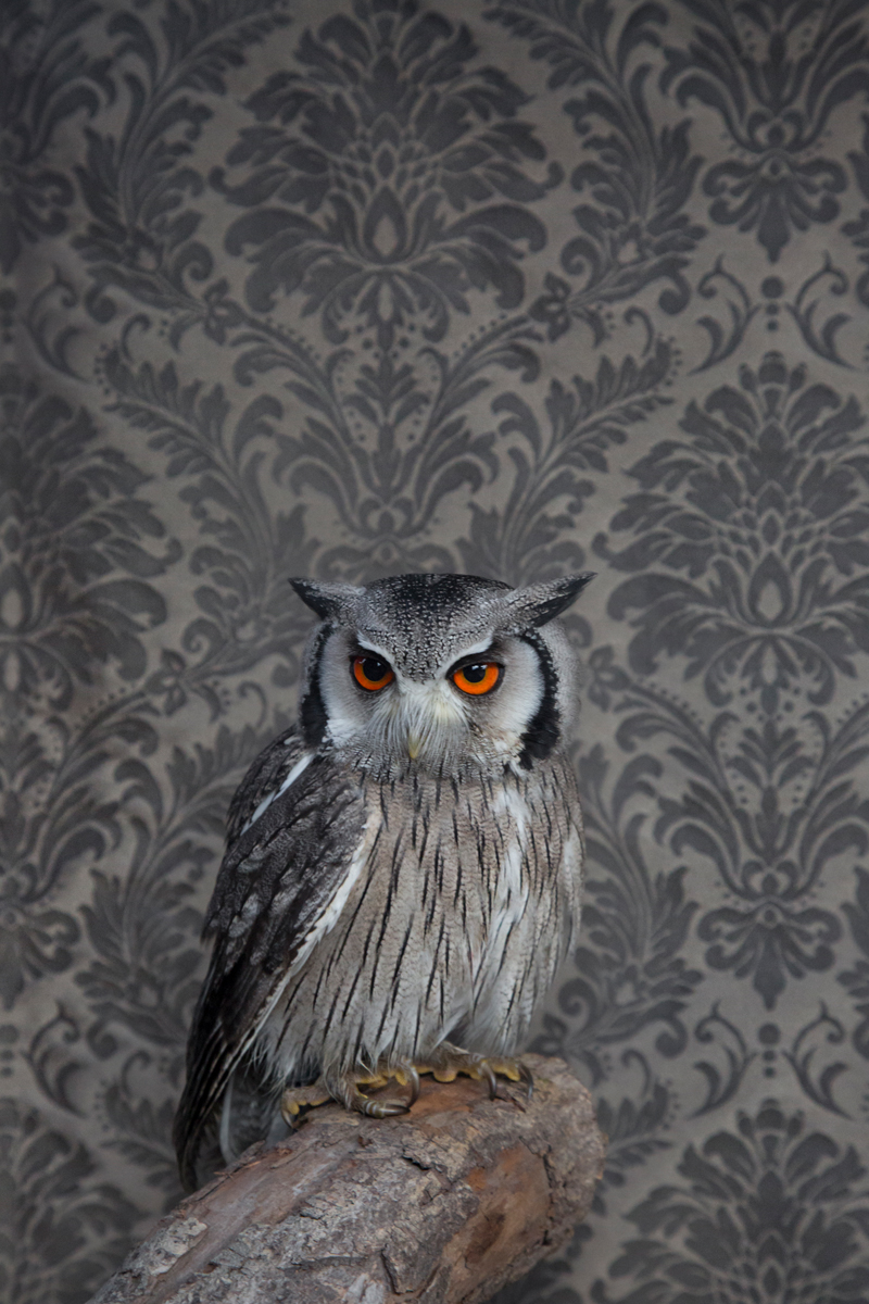 SOUTHERN WHITE FACED OWL NO. 7201