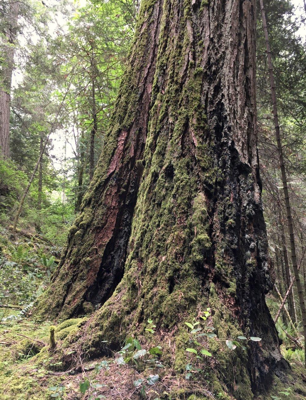 old-cdf-tree.jpg