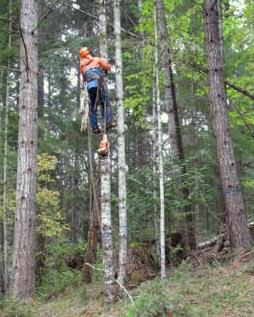 Timber Harvest 2017 Peter climbing the tree.jpg