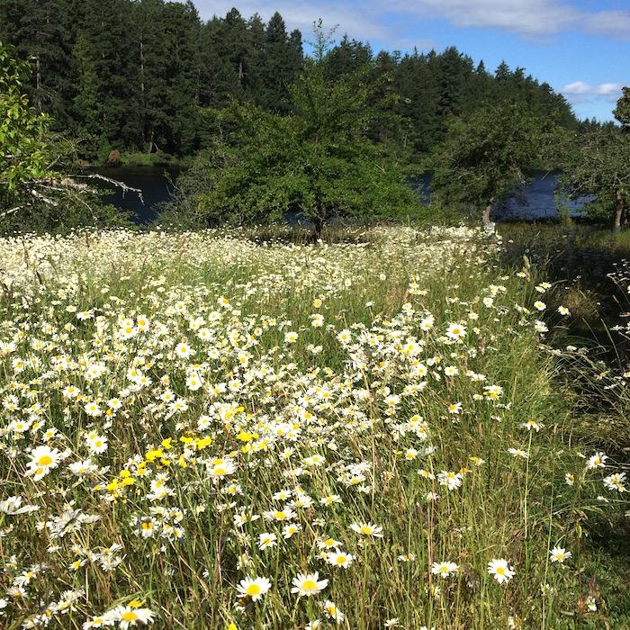 daisy-field.jpg