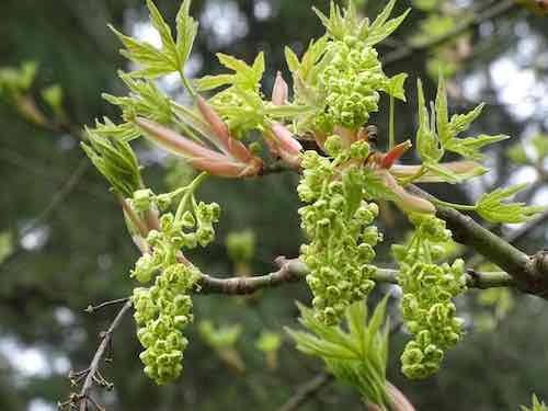 bigleaf maple flowers Acer macrophyllum sm.jpg
