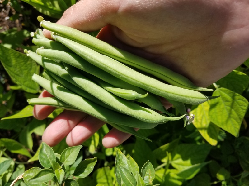 Green beans from an apartment complex's vegetable garden in Clark County