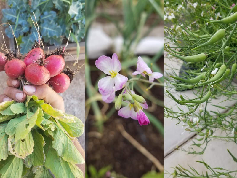 Radish roots, flowers, and pods are all edible. (These were grown in Green Valley.)