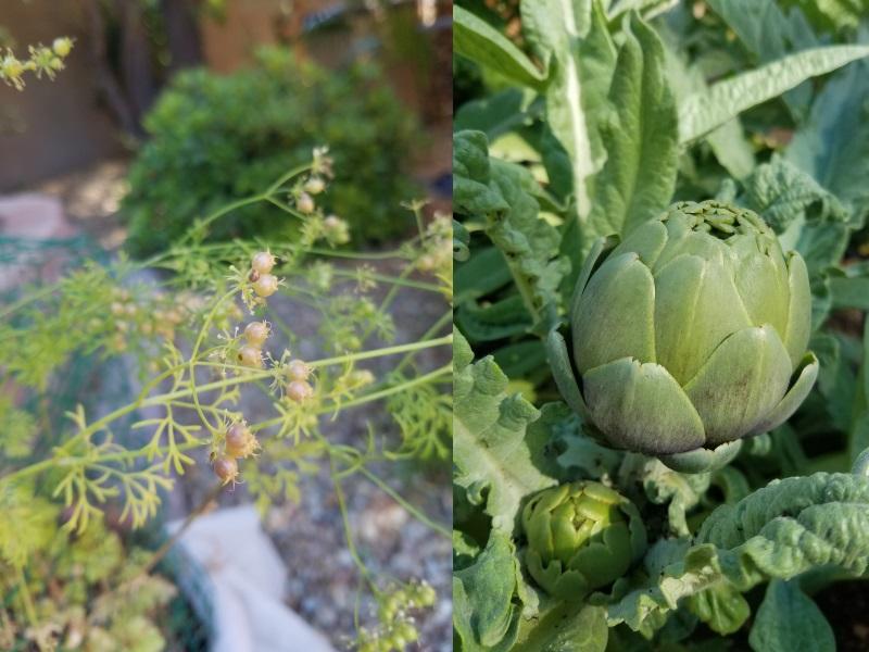 'Tis the season for coriander and artichokes.