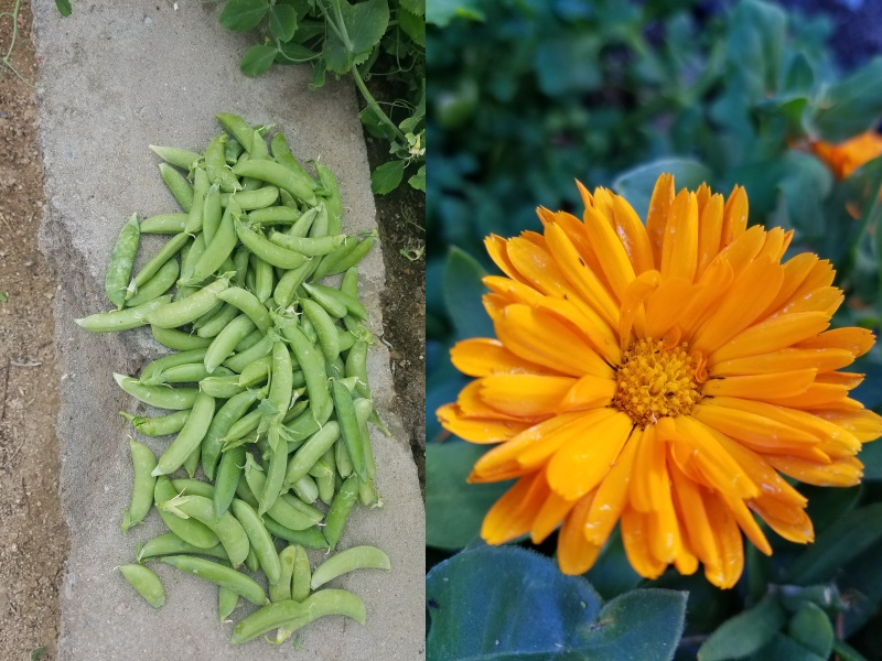 Peas (left) and calendula petals (right) combine well with artichokes.