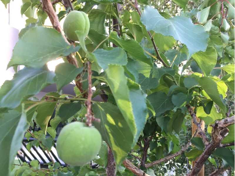 Photo by Farmer Ryan. Apricots... not quite ready to pick. Meanwhile...