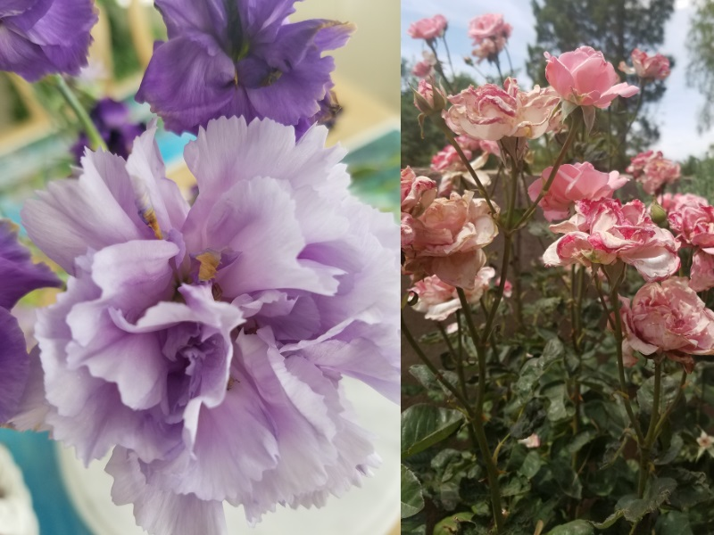 Carnations (left) and roses (right) have edible petals.