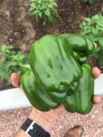 bell-pepper (1).jpg