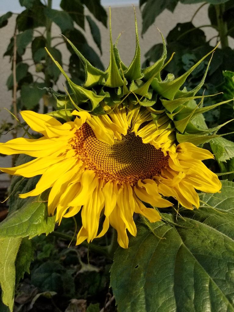 Bashful sunflower Somerset 1-2018.jpeg