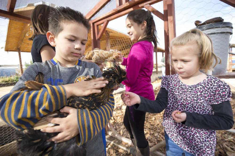 Jacob Anderson, 5, from left, Rebecca Anderson, 9, and Summer Hunsaker, 6, visit with Polish chickens, a European breed of chickens known for its crest of feathers, in a coop during a volunteering event at the San Miguel Community Garden located at 3939 Bradley Road in Las Vegas on Saturday, Jan. 12, 2019. Richard Brian Las Vegas Review-Journal @vegasphotograph