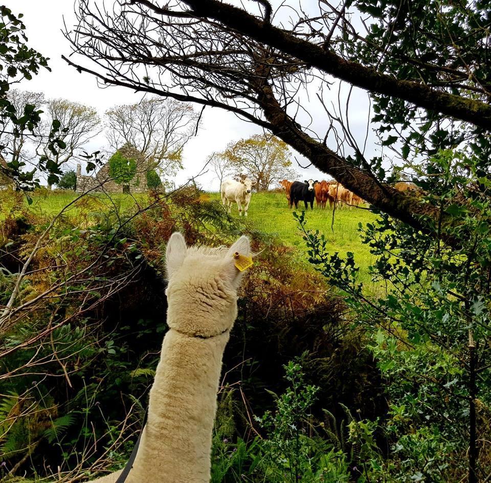alpacacows.jpg
