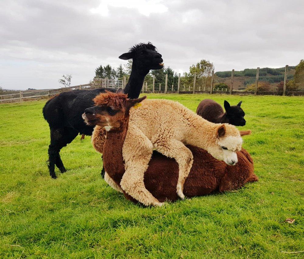 alpaca hugs.jpg
