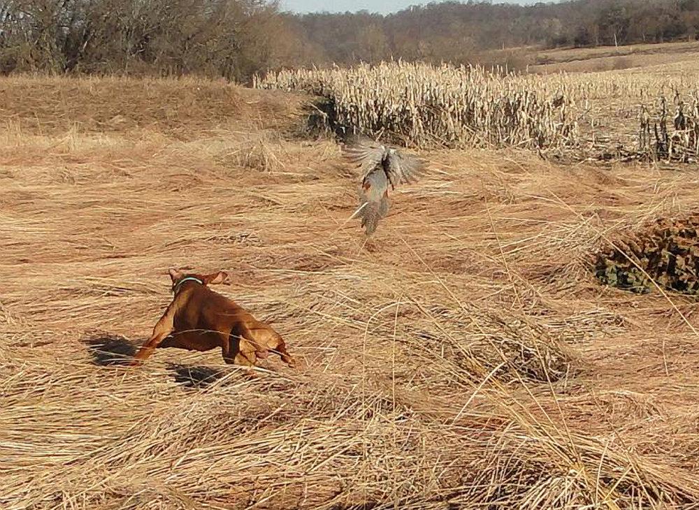 Flushing a pheasant