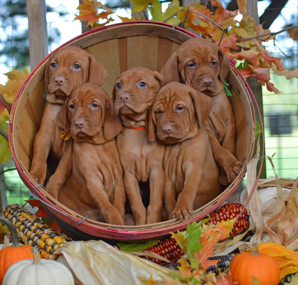 Viszla puppies in bushel basket