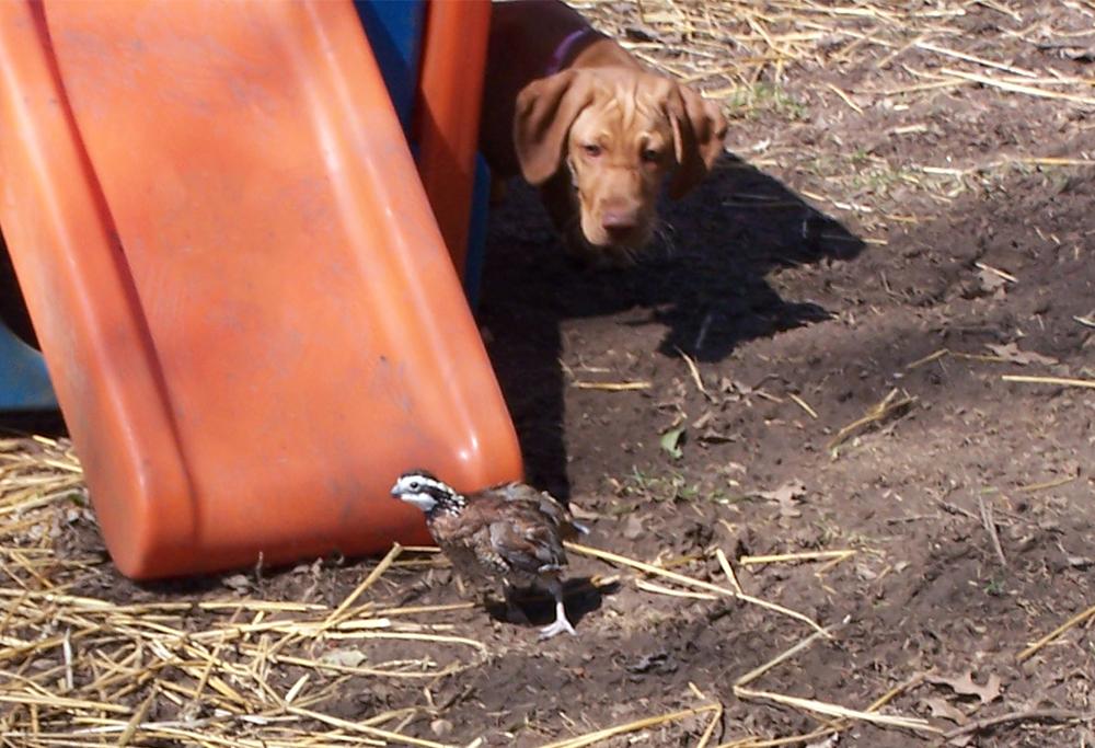 Viszla stalking a quail