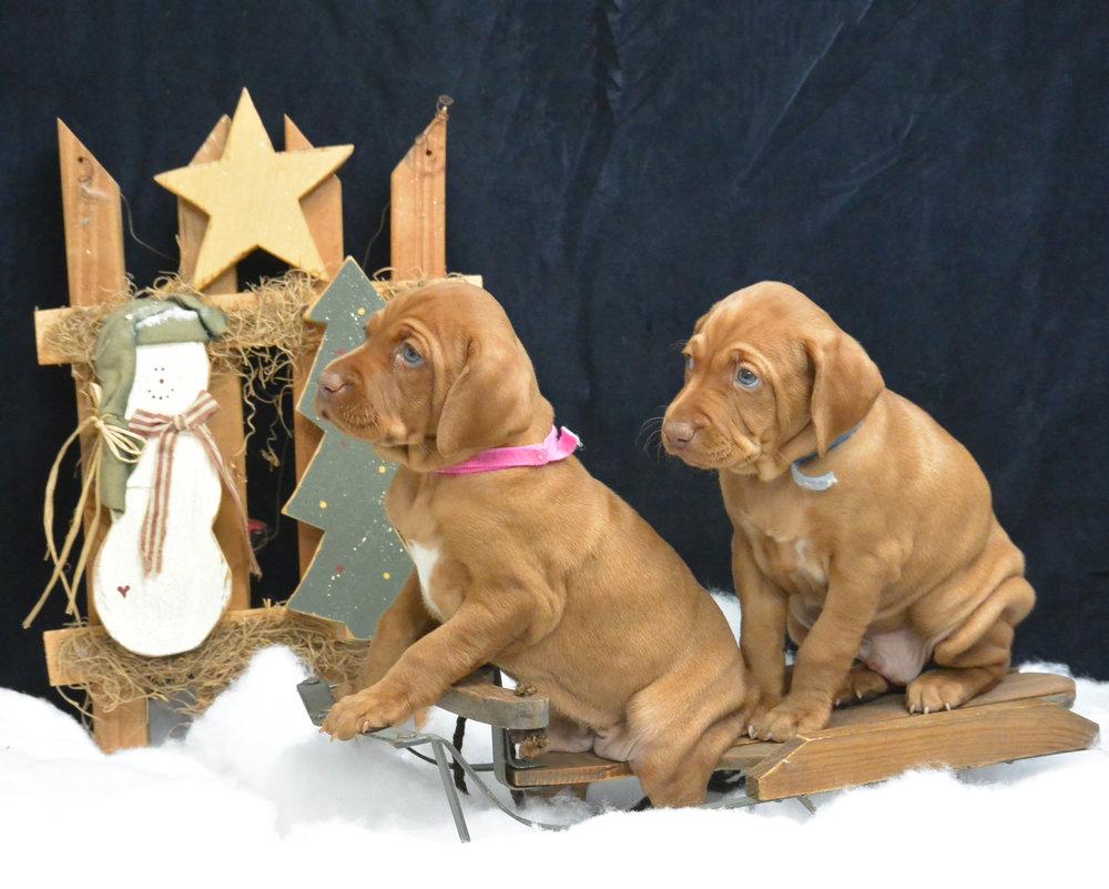 Holiday puppies