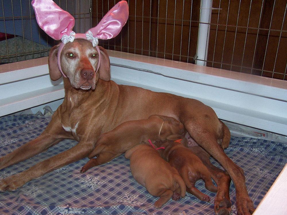 Viszla in easter bunny ears