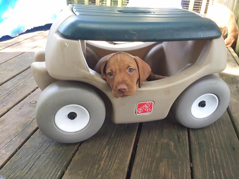 Viszla puppy in car