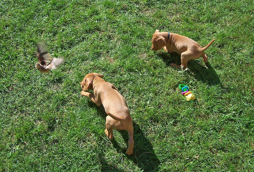 two Viszla puppies and a quail