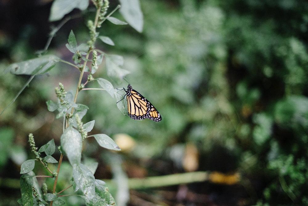monarch butterfly.jpg