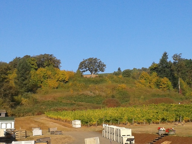 Witness Tree Vineyards during harvest with the famous Witness Tree from the Oregon Trail days in the background