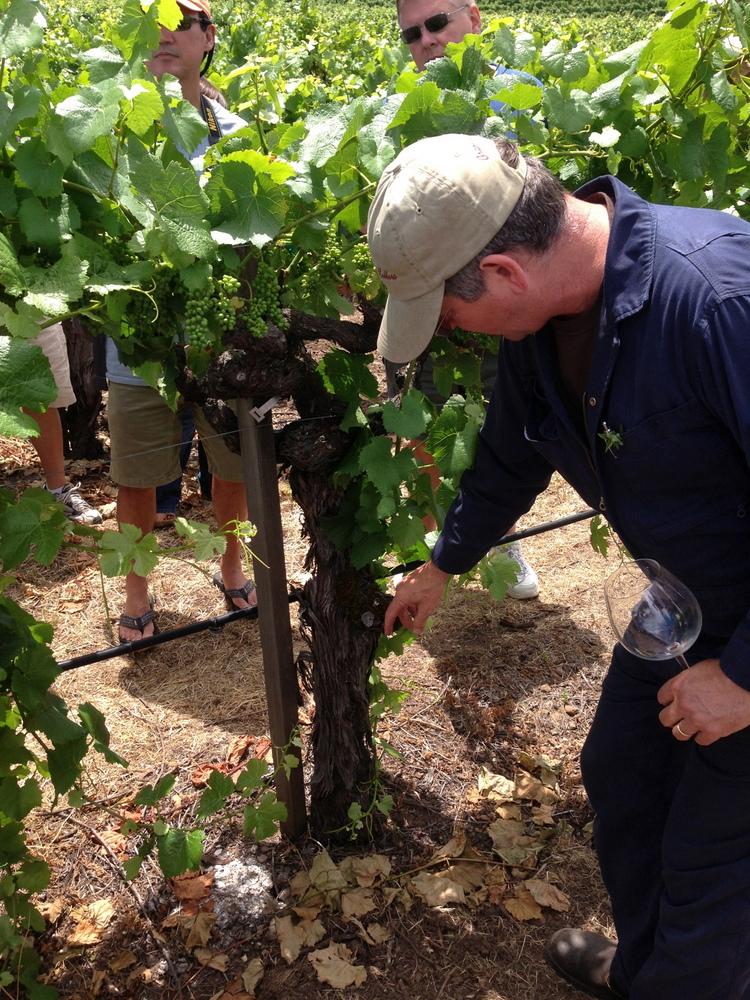 Winemaker Greg La Follette inspecting Pinot Noir vines at Van der Kamp Vineyard