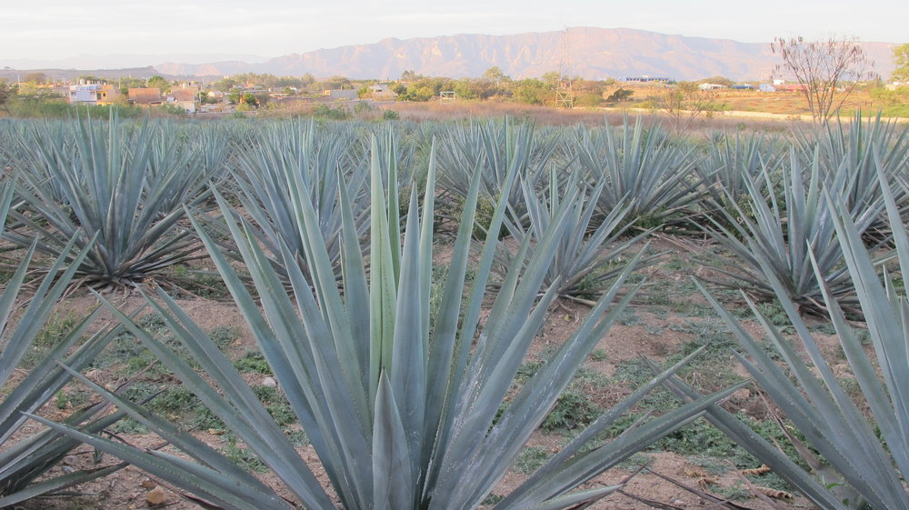 Agave fields close up