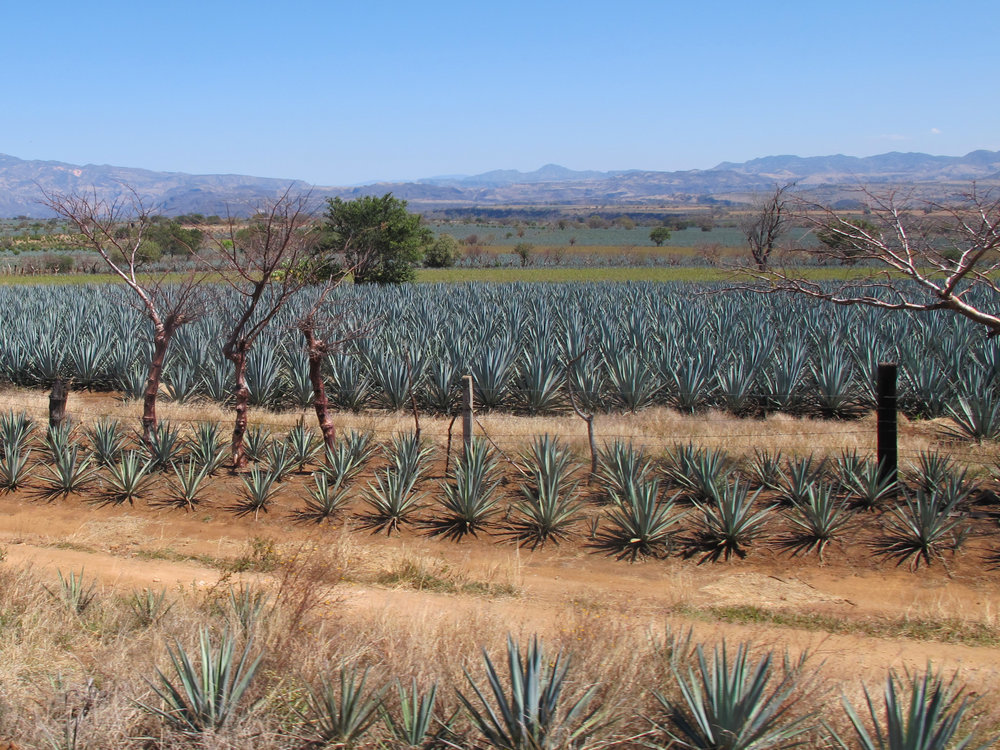 Agave fields.Slider.jpg