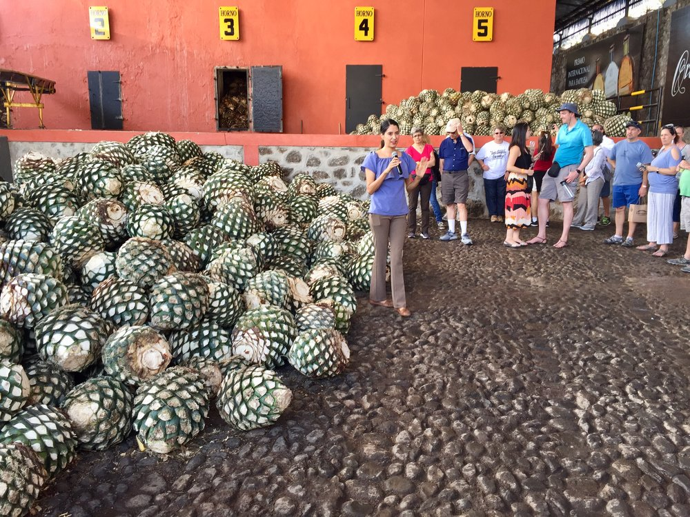 Agave pinas getting ready to go into the ovens at Orendain.
