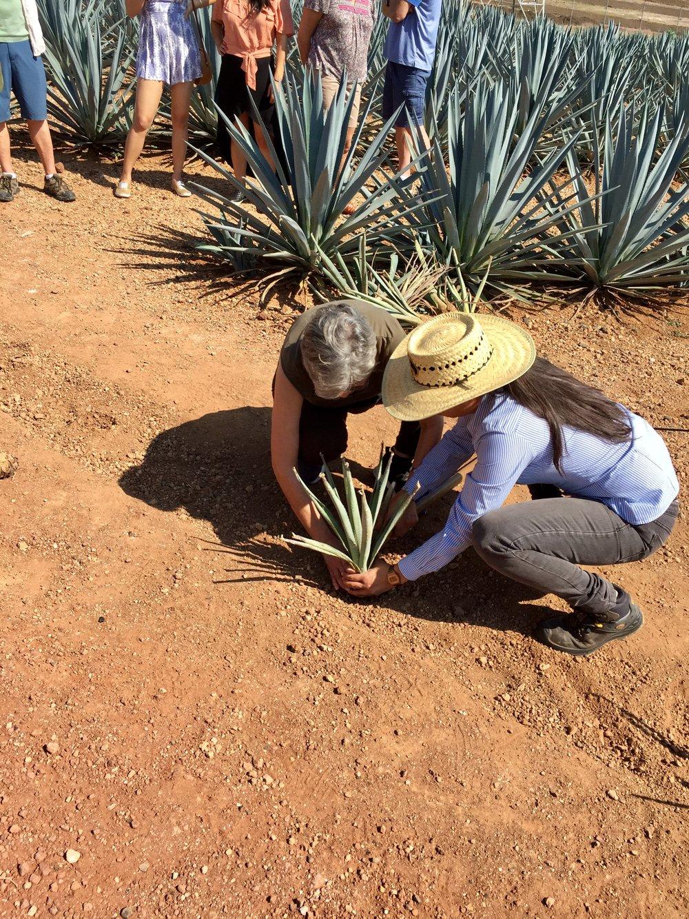 Planting baby agaves at Sauza.