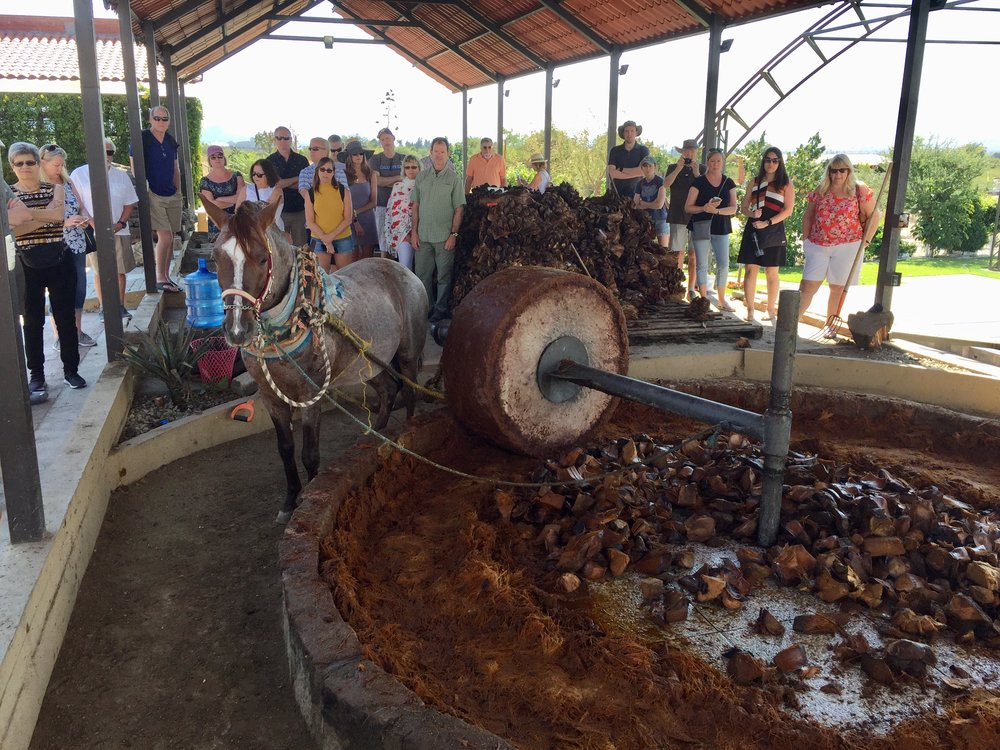 Crushing agave the old fashioned way.