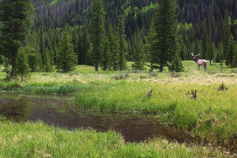 bull-elk-meadow.jpg